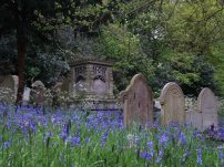 A carpet of bluebells in the Rosary Cemetery. Picture: Siofra Connor